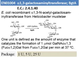 α-1,3-N-acetyl-galactosaminyltransferase; BgtA